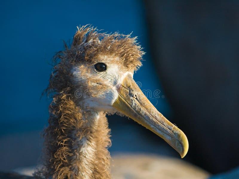 Wellenartig bewogener Albatros stockfotografie
