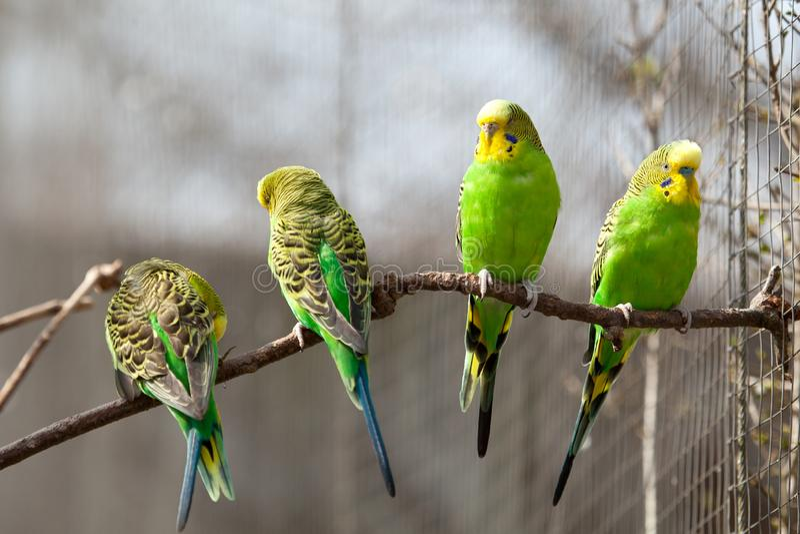 Wellensittich sitzt auf einer Niederlassung Der Papagei ist hell grün-farbig Vogelpapagei ist ein Haustier Gewellter Papagei des  lizenzfreie stockfotos