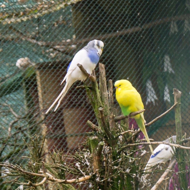 Wellensittichvögel Papageien Budgie-Liebe lizenzfreie stockfotos