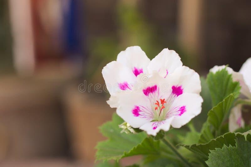 Wellustige geranium 6 royalty-vrije stock fotografie