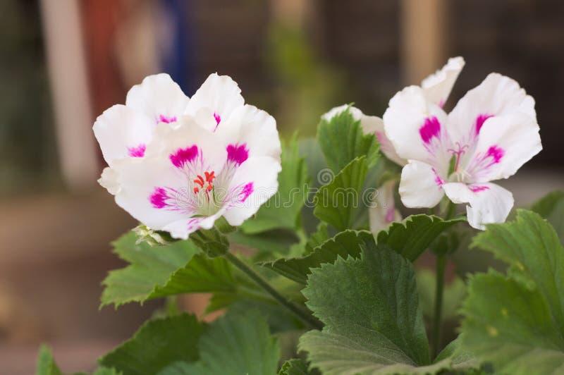 Wellustige geranium 3 stock afbeeldingen