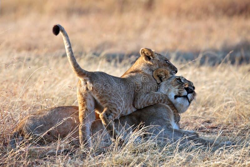 Welp van de leeuw speelde met mamma in de stralen van de ochtendzon royalty-vrije stock afbeeldingen