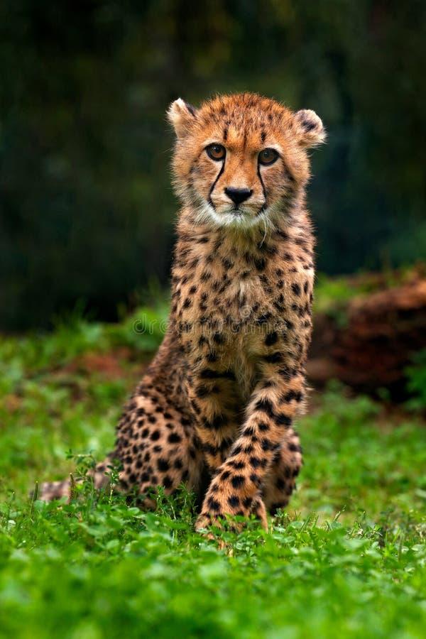 Welp van Jachtluipaard Jachtluipaard, Acinonyx-jubatus, detailportret van wilde kat, Snelste zoogdier op land, in gras, Namibië,  stock foto's