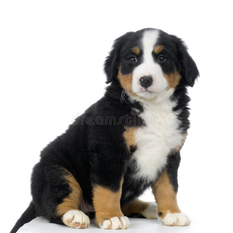 Welpe Bernese Gebirgshund lizenzfreie stockbilder