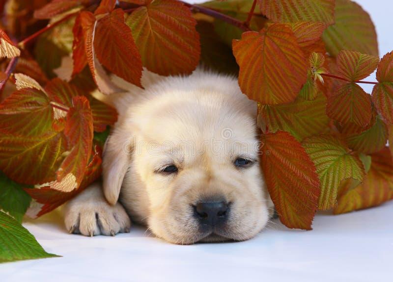Welpe in den Herbstblättern. lizenzfreies stockfoto