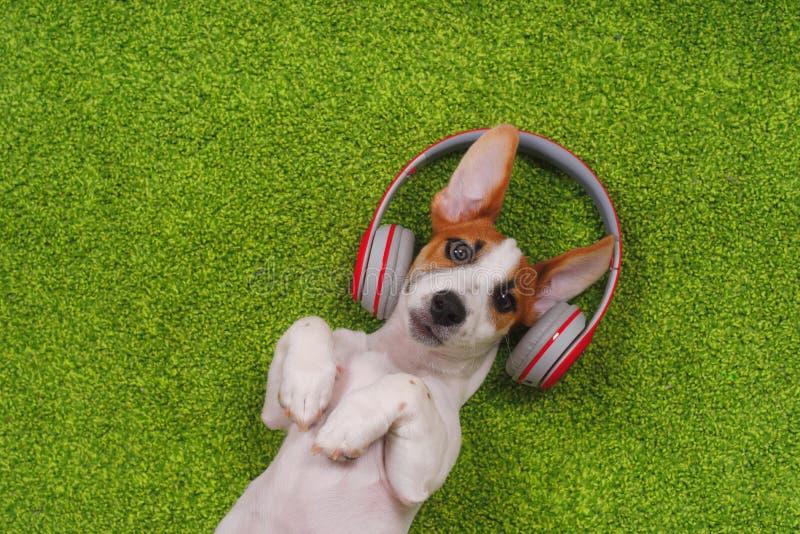 Welpe, der auf grünem Teppich und Musik auf Kopfhörern hören liegt lizenzfreie stockbilder