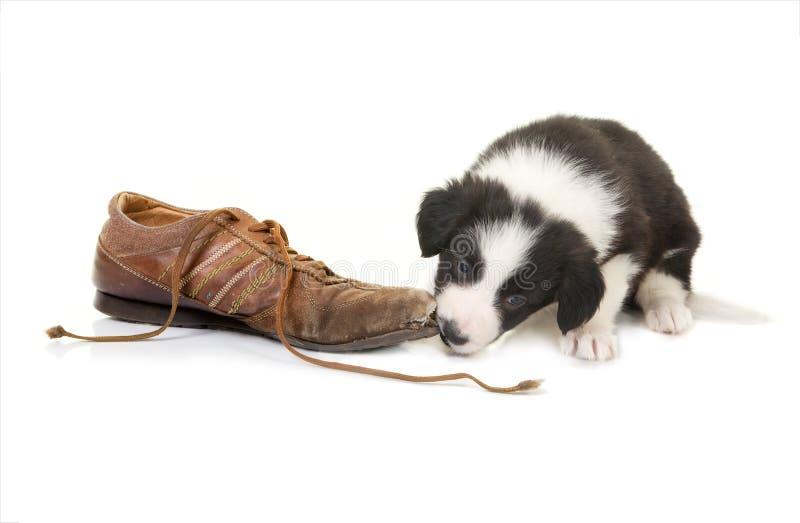 Welpe, der auf Schuh kaut lizenzfreie stockfotografie