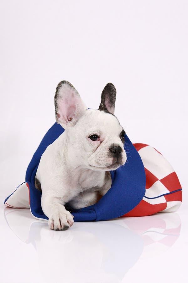 Download Welpe Der Französischen Bulldogge Stockfoto - Bild von tier, ergeben: 26354344
