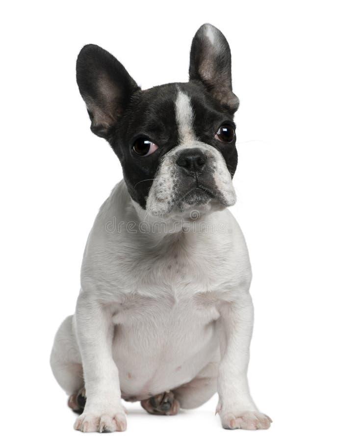 Welpe der französischen Bulldogge, 4 Monate alte, sitzend stockbild
