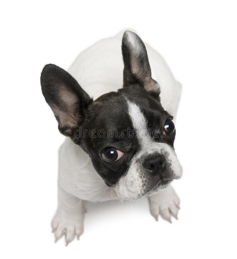 Welpe der französischen Bulldogge, 4 Monate alte, sitzend lizenzfreie stockfotografie