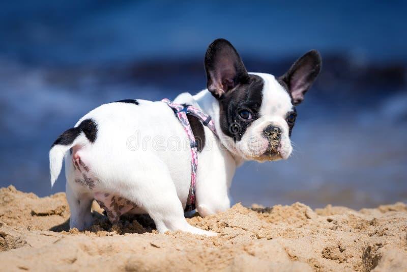 Welpe der französischen Bulldogge auf dem Strand lizenzfreies stockfoto
