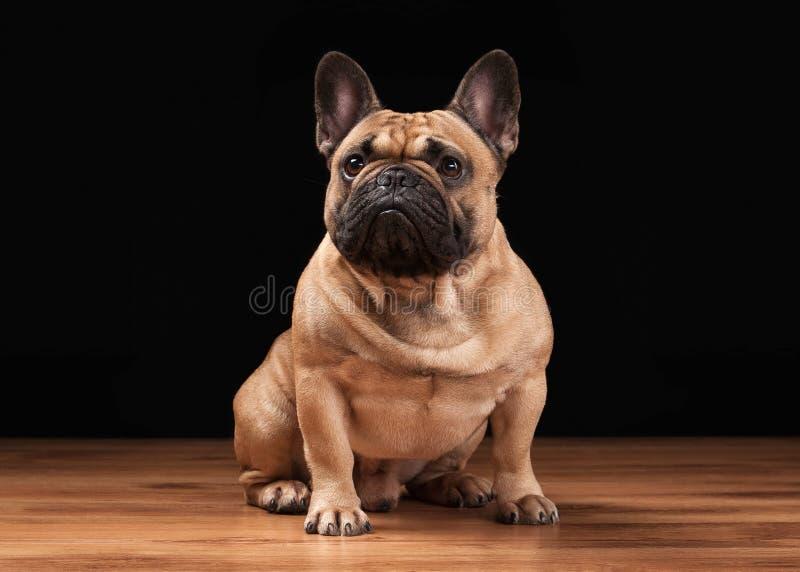 Welpe der französischen Bulldogge auf schwarzem Hintergrund mit hölzerner Beschaffenheit stockbild
