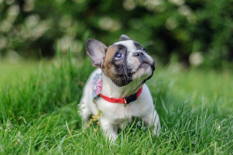 Welpe der französischen Bulldogge, der oben mit neugierigem Ausdruck schaut stockfoto