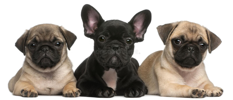 Welpe der französischen Bulldogge zwischen zwei Pugwelpen lizenzfreie stockfotos