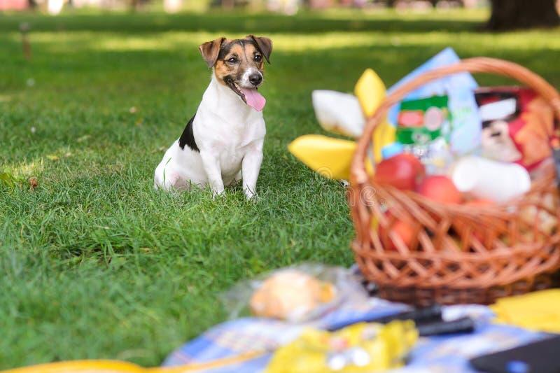 Welpe, der nahe bei Korb für Picknick sitzt stockbilder