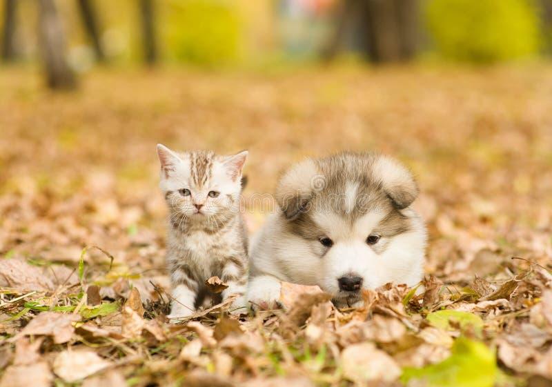 Welpe des alaskischen Malamute und schottisches Kätzchen, die zusammen im Herbstpark liegen lizenzfreies stockbild