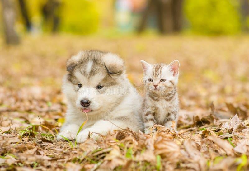 Welpe des alaskischen Malamute und schottisches Kätzchen, die zusammen im Herbstpark liegen stockfotos