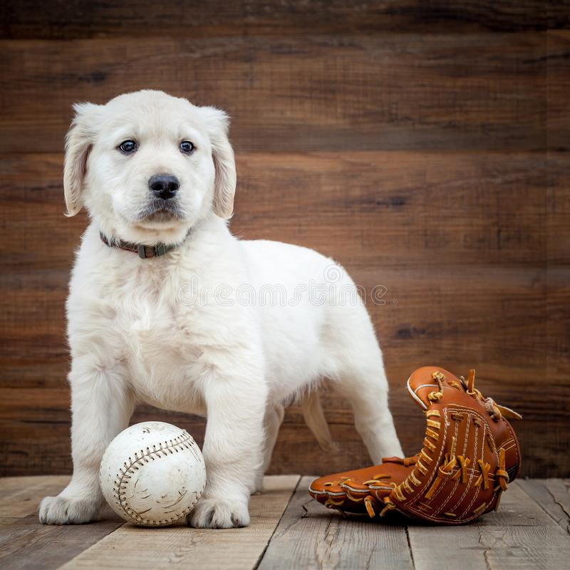 Welpe des goldenen Apportierhunds lizenzfreie stockfotos
