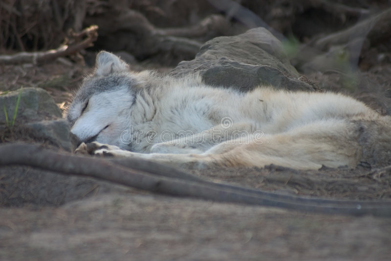 Welpe Des Grauen Wolfs Schlafens. Stockbild