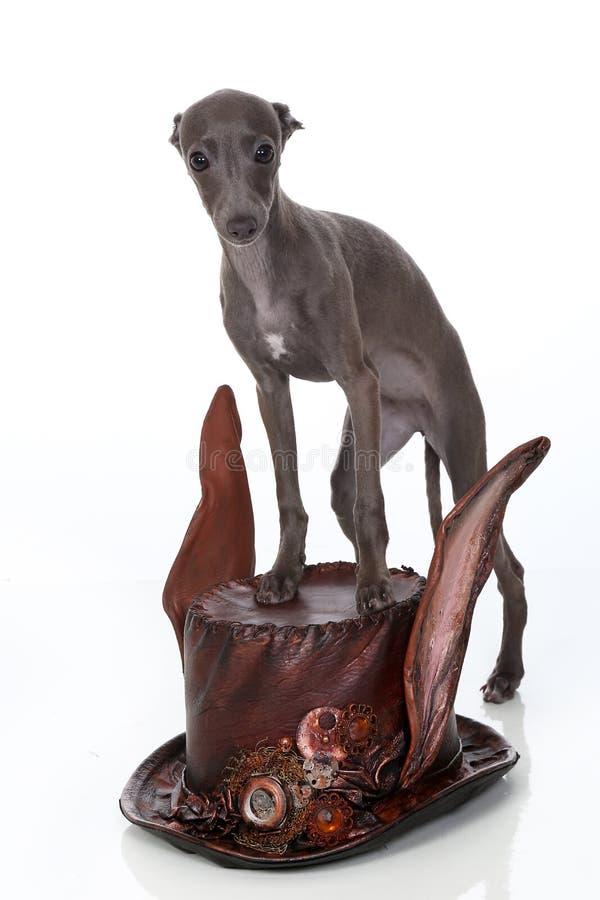 Welpe des italienischen Windhunds steht auf einem steampunk Arthut stockfoto