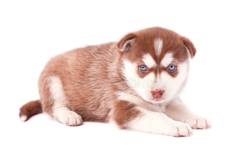 Welpe des sibirischen Huskys, braune Farbe, lokalisiert auf weißem Hintergrund stockfoto