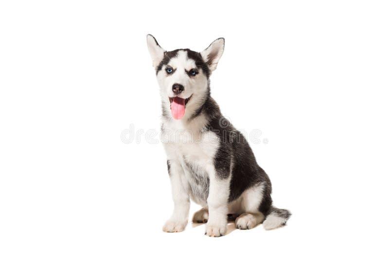 Welpe des sibirischen Huskys lokalisiert auf einem weißen Hintergrund stockfotografie