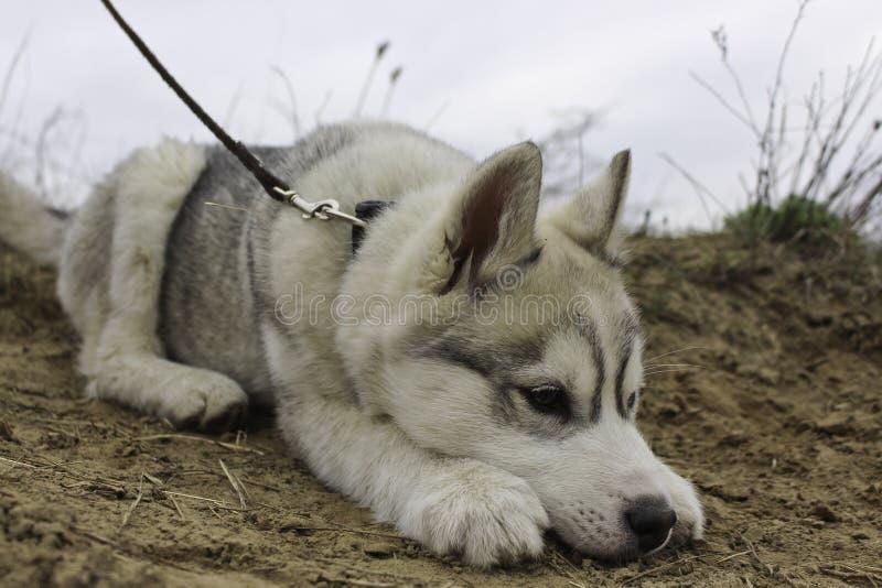 Welpe des sibirischen Schlittenhunds lizenzfreies stockbild