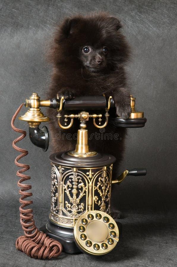 Welpe eines Spitzhundes mit Telefon stockbilder