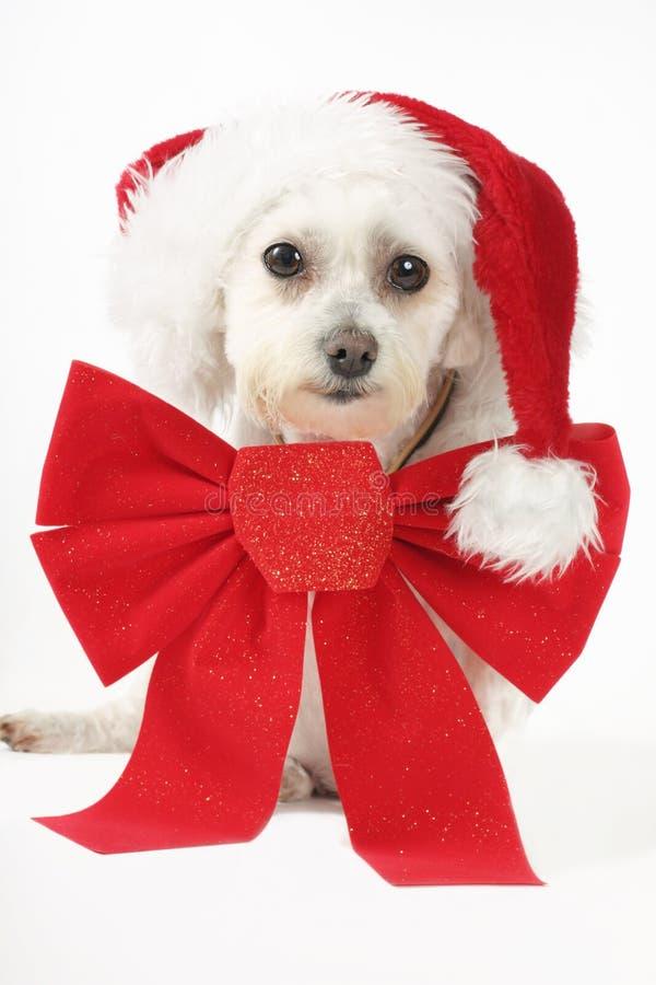 Welpe für Weihnachten lizenzfreie stockbilder