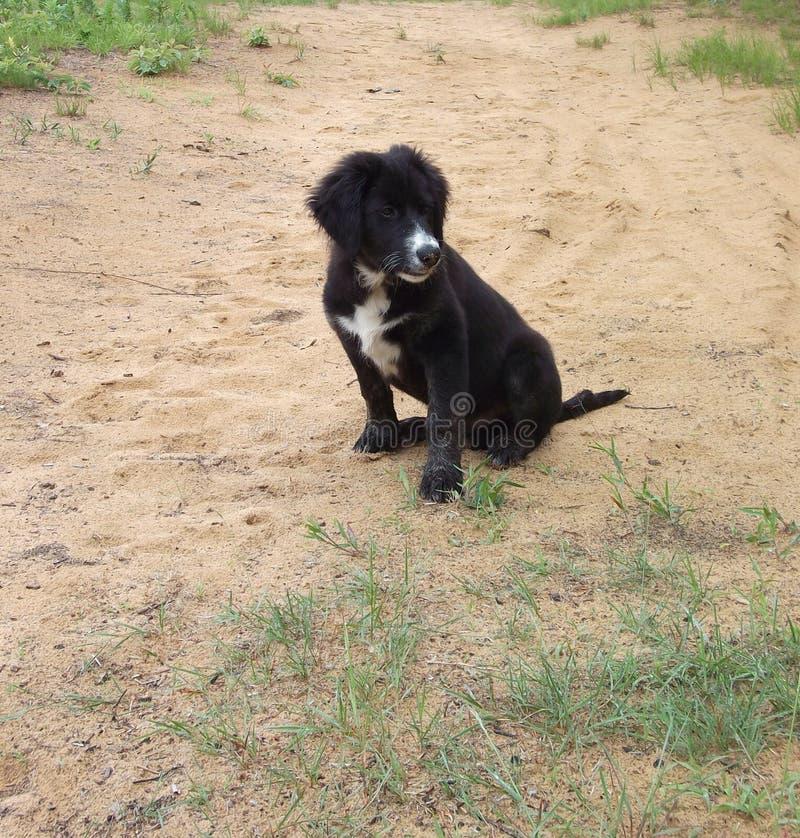 Welpe, Hund, Border collie, Collie, Schwarzes, Weiß, außerhalb, Gras, Rosen stockfotografie