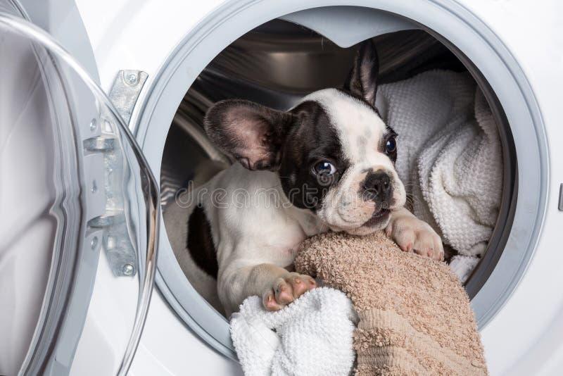 Welpe innerhalb der Waschmaschine stockbild