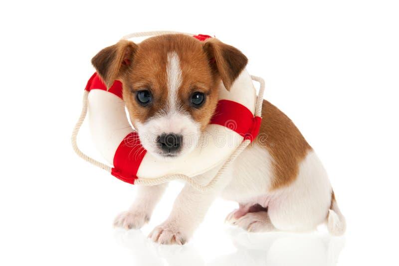 Welpe Jacks Russel als Rettungshund lizenzfreies stockfoto