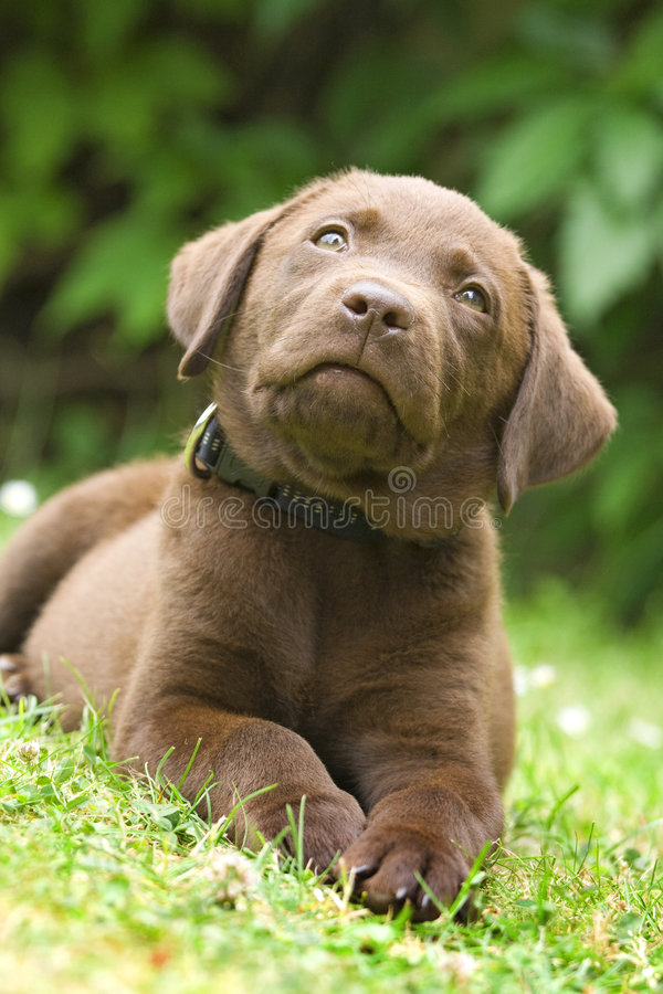 Welpe - Labrador-Apportierhund stockfotografie