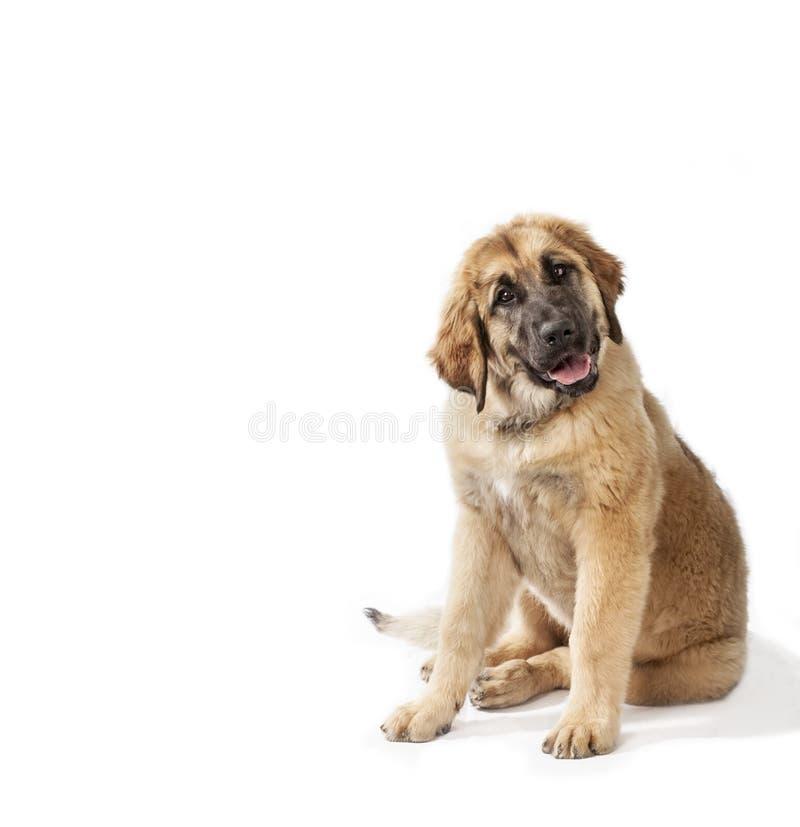 Welpe leonberger Hund stockbilder