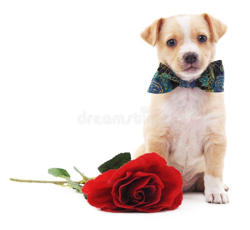 Welpe mit einer Rose lizenzfreie stockfotografie