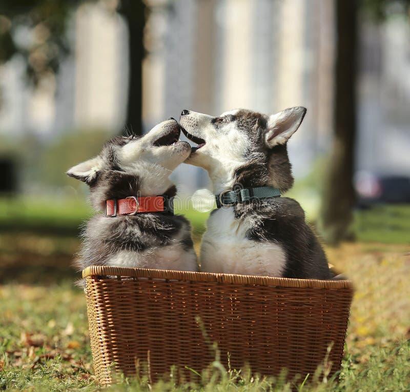 Welpe mit zwei Schlittenhunden, der im Korb spielt stockbild
