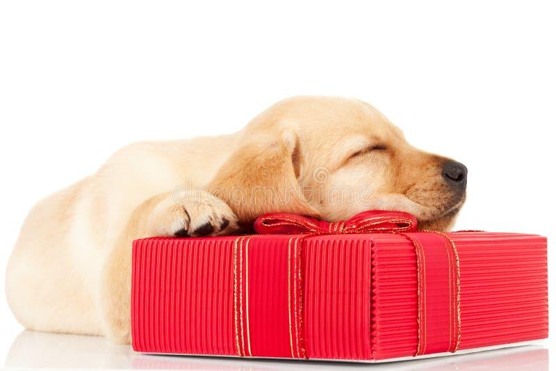 Welpe Schlafens Labrador auf einem Geschenk lizenzfreie stockfotos