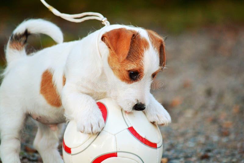 Welpe spielt Fußball lizenzfreie stockfotos