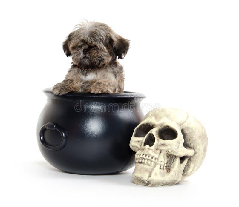 Welpe und Halloween Shih-Tzu stockfoto