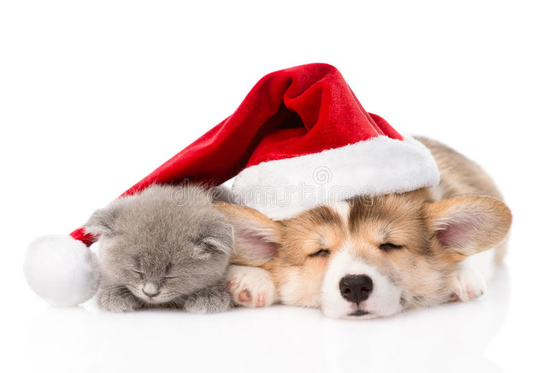 Welpe und Kätzchen Schlafens Pembroke Welsh Corgi mit Sankt-Hut Lokalisiert auf Weiß lizenzfreie stockfotografie
