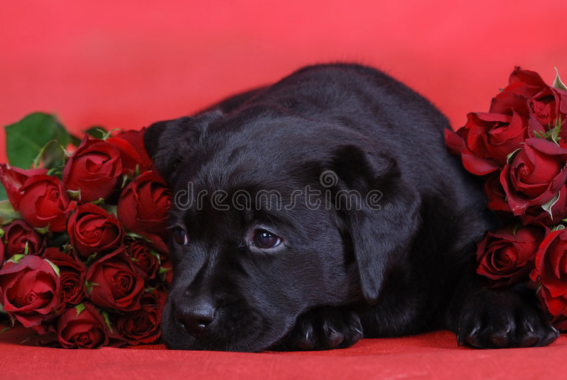 Welpe und Rosen stockbilder