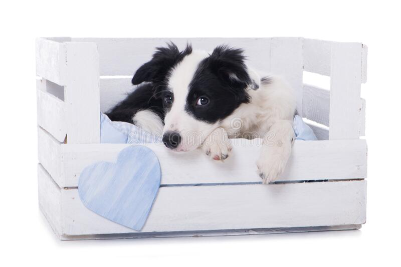 Cute border collie puppy lying in a wooden box royalty free stock photography