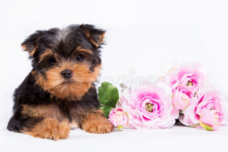 Welpe Yorkshires Terrier mit einem Blumenstrauß von rosa Blumen lizenzfreies stockbild