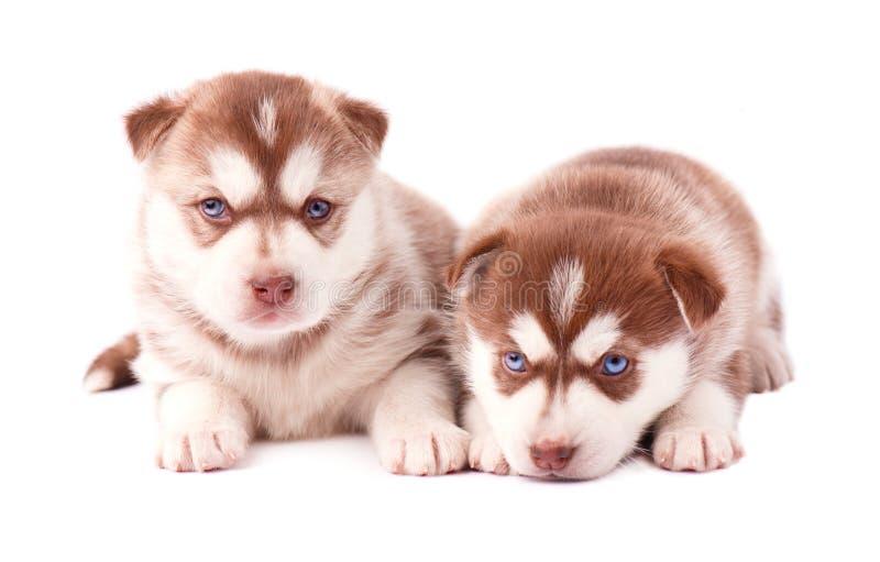 Welpe zwei des sibirischen Huskys, braune Farbe, lokalisiert auf weißem Hintergrund stockfoto