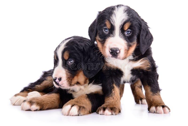 Welpen-Berner Sennenhund stockfotografie