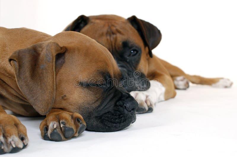 Welpen-Boxer mit Vater lizenzfreie stockfotos