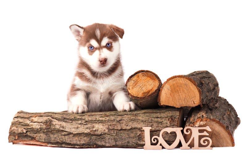 Welpen-brauner sibirischer Husky mit dem Brennholz, lokalisiert stockfotos