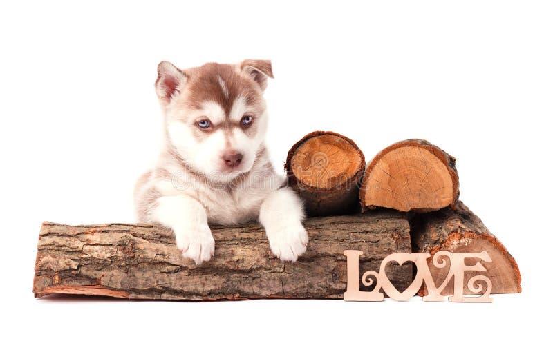 Welpen-brauner sibirischer Husky mit dem Brennholz, lokalisiert auf Weiß stockbilder