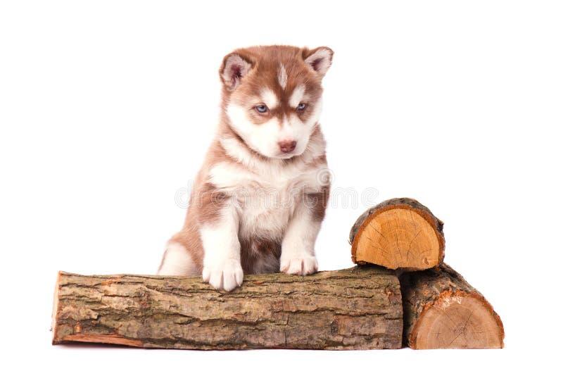 Welpen-brauner sibirischer Husky mit dem Brennholz, lokalisiert auf Weiß lizenzfreies stockfoto