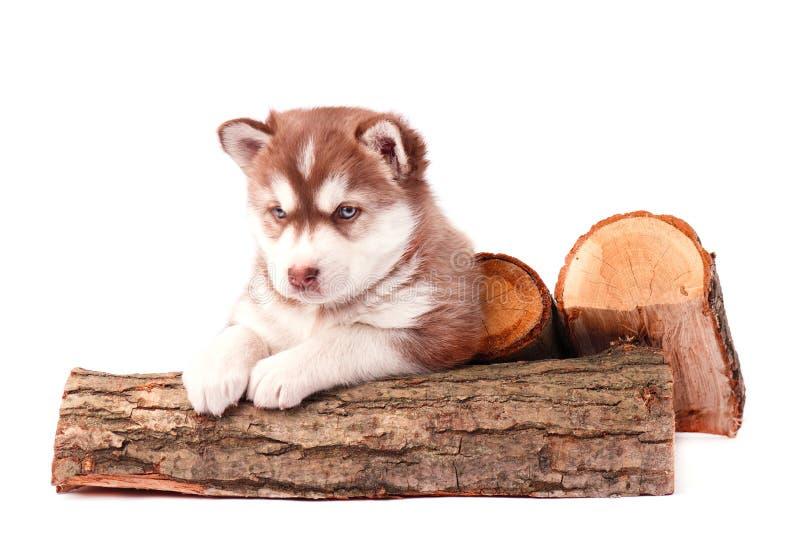 Welpen-brauner sibirischer Husky mit dem Brennholz, lokalisiert auf Weiß lizenzfreie stockbilder